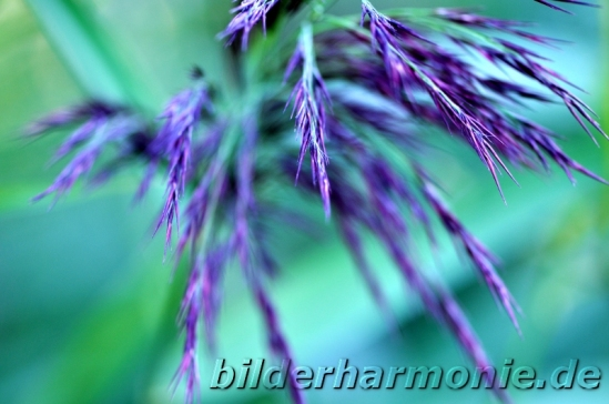 Leuchten der Natur - lila/Glowing of Nature -  purple
